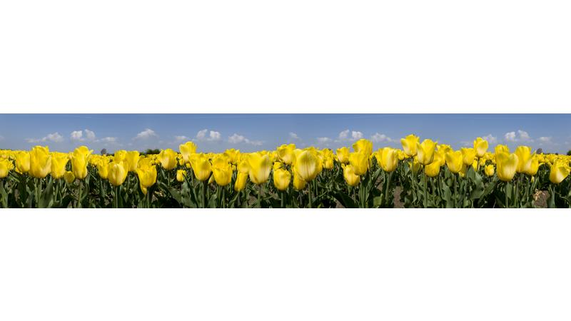 YellowTulips_vb