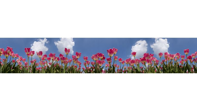 PinkTulips_vb