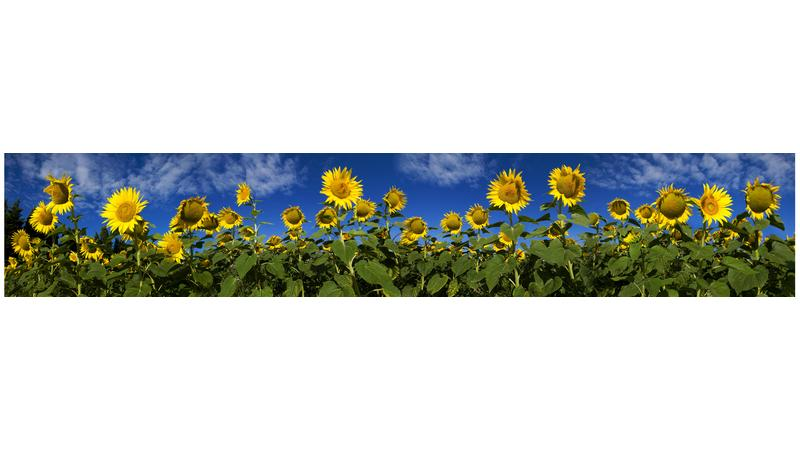 Sunflowers_vb