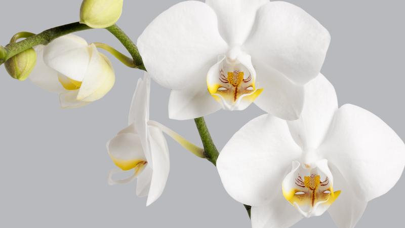 WhiteOrchids