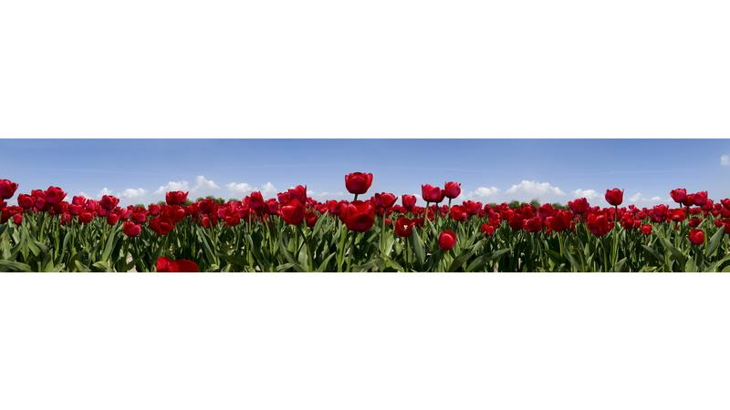 RedTulips_vb